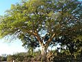 Ficus sycomorus Kruger-NP.jpg