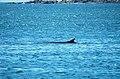 Fin whale St Vincents.jpg