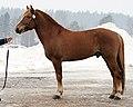 Finnhorse stallion.jpg