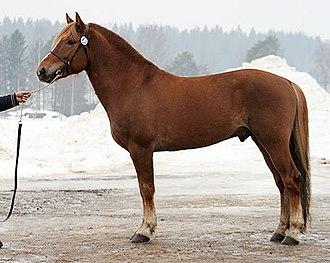 Finnhorse - Finnhorse stallion, trotter section
