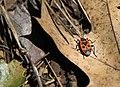 Firebug - Pyrrhocoris Apterus.jpg