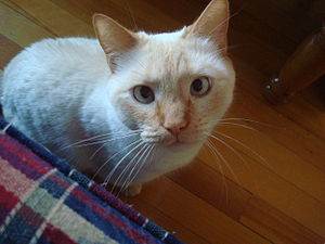 Colorpoint Shorthair - Two Year Old Red Point Siamese Female