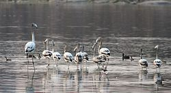 Flamingos at Ameenpur Lake, Hyderabad.jpg