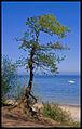 Flickr - Laenulfean - beach tree.jpg