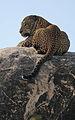 Flickr - Rainbirder - Leopard at rest.jpg