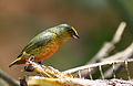Flickr - Rainbirder - Olive-backed Euphonia (Euphonia gouldi) male (1).jpg