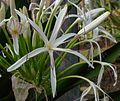 Flickr - brewbooks - Crinum amabile - Spider Lily.jpg