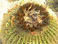 Flickr - brewbooks - Echinocactus grusonii Golden Barrel Cactus (3).jpg