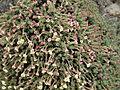 Flickr - brewbooks - Eriogonum thymoides (thymeleaf buckwheat) Umtanum Ridge hike (2).jpg