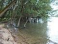 Floodplain forest, mild flooding, Primate's Island, Esztergom, Hungary.jpg
