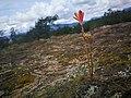 Flor tacacoa.jpg