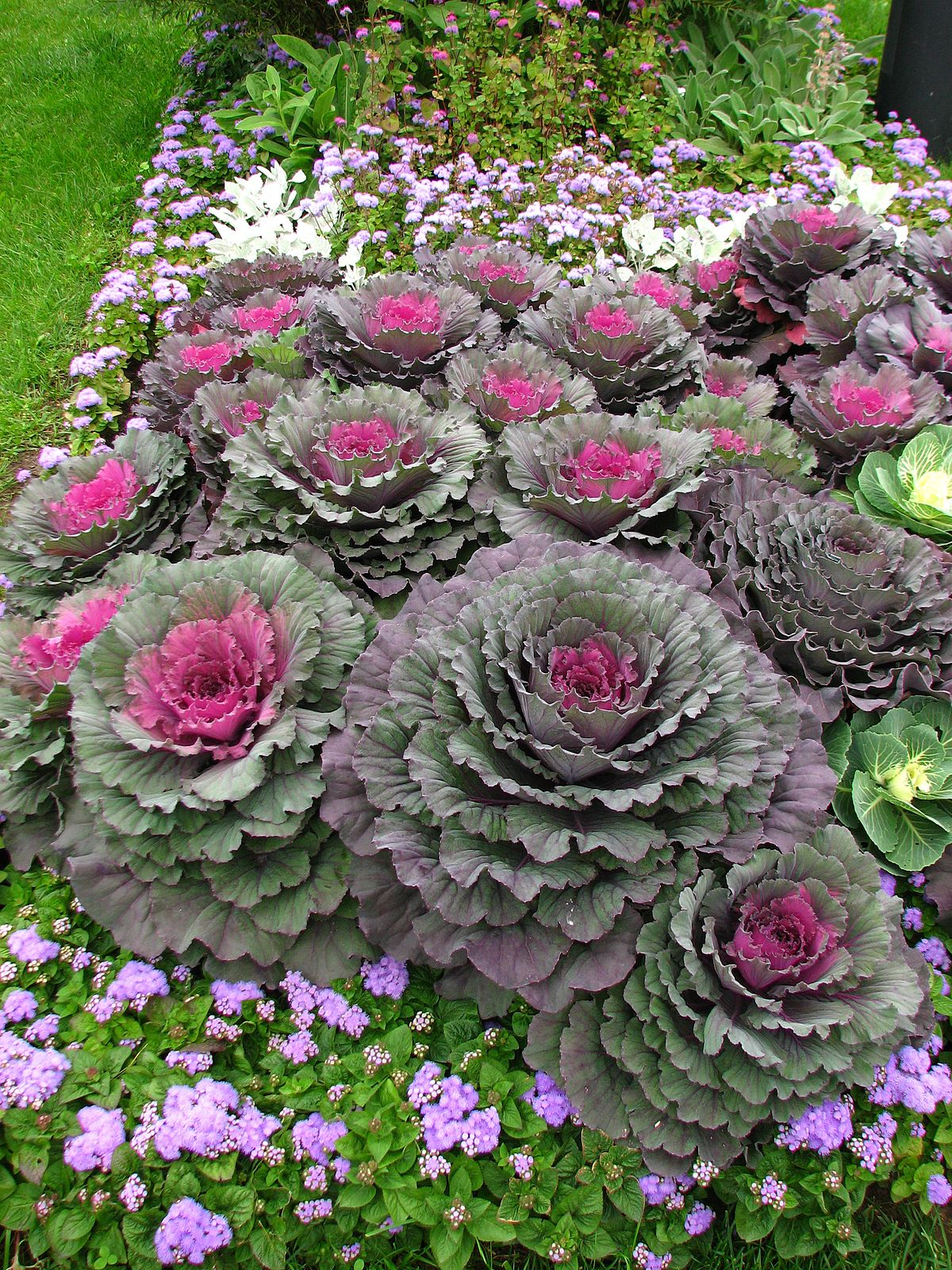 Brassica oleracea var acephala wiktionary for Best flowers for flower bed