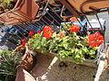 Flowers in Rome5.JPG