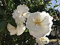 Flowers of Camellia sasanqua 20171106.jpg