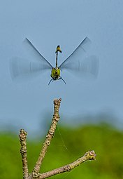 Flying Dragonfly.jpg