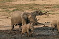 Forest elephant group 6 (6841414150).jpg