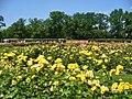 Forst-Rosengarten - Neuheitengarten (Rose Garden - New Varieties) - geo.hlipp.de - 38959.jpg