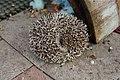 Four-toed Hedgehog 四趾刺蝟 - panoramio.jpg
