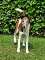 Fox Terrier Sam.JPG