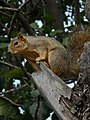 Fox squirrel DSCN 1263.JPG