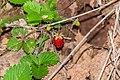 Fragaria vesca in Aveyron (1).jpg