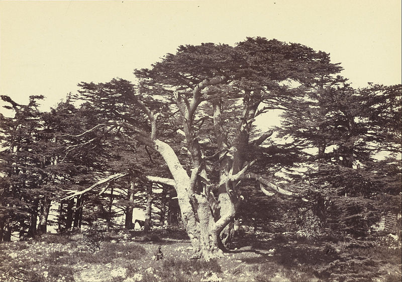 File:Francis Frith (English - The Largest of the Cedars, Mount Lebanon - Google Art Project.jpg