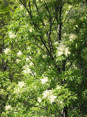 Flowering Ash (Fraxinus ornus) - Habit: Prunel...