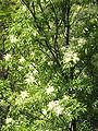 Fraxinus ornus JPG1b.jpg