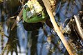 Frog at the Pond - Tower Hill Botanical Garden - panoramio.jpg