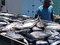 Fuerteventura Fischerboot im Hafen Fisch 02.jpg