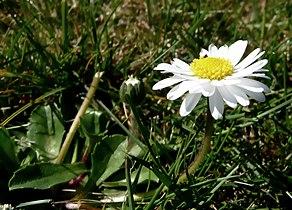 Gänseblümchen auf der Wiese 17-04-2010 (2).jpg