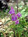 GALEOPSIS ANGUSTIFOLIA - BÒFIA - IB-357 (Galeopsis de fulla estreta).JPG