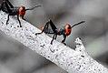 Gafanhoto-soldado (Chromacris speciosa) - Grasshopper.jpg