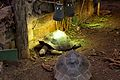 Galapagos Giant Tortoise at Chester Zoo 1.jpg