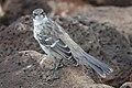 Galapagos Mockingbird (47761551852).jpg