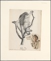 Galeopithecus volans - 1809-1845 - Print - Iconographia Zoologica - Special Collections University of Amsterdam - UBA01 IZ19700103.tif