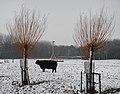 Galloway in de sneeuw - Uithof - DenHaag (8254464264).jpg