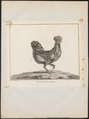 Gallus ferrugineus - 1767 - Print - Iconographia Zoologica - Special Collections University of Amsterdam - UBA01 IZ17000282.tif