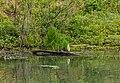 Garcilla cangrejera (Ardeola ralloides), Delta del Danubio, Rumanía, 2016-05-28, DD 29.jpg