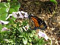 Gardenology.org-IMG 5299 hunt0904.jpg