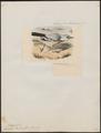 Garrulus panderi - 1877 - Print - Iconographia Zoologica - Special Collections University of Amsterdam - UBA01 IZ15700021.tif