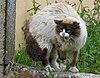 Gato enervado pola presencia dun can