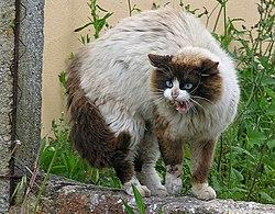 Gato enervado pola presencia dun can.jpg