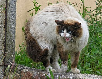 Cat communication - A cat hissing and arching its back to make itself appear larger to ward off a threat