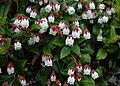 Gaultheria ovatifolia Iwahaze in Sannomine 2002 6 16.jpg