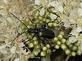 Gaurotes virginea (Cerambycidae) - feeding on ? (Apiaceae ?) (7615328428).jpg