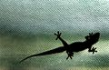Gecko on My Window 1 (17729541).jpg