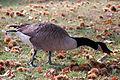 Geese Eating Chestnuts At Kew Gardens (3997413987).jpg