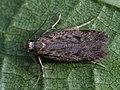 Gelechia rhombelliformis (40862232972).jpg