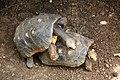 Geochelone carbonaria in Barbados Wildlife Reserve 22.jpg